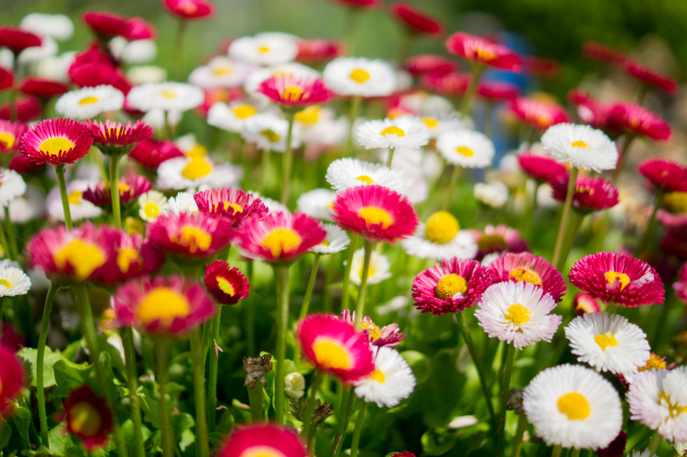 Colourful-combination-of-flowers-free-license-CC0-980x652